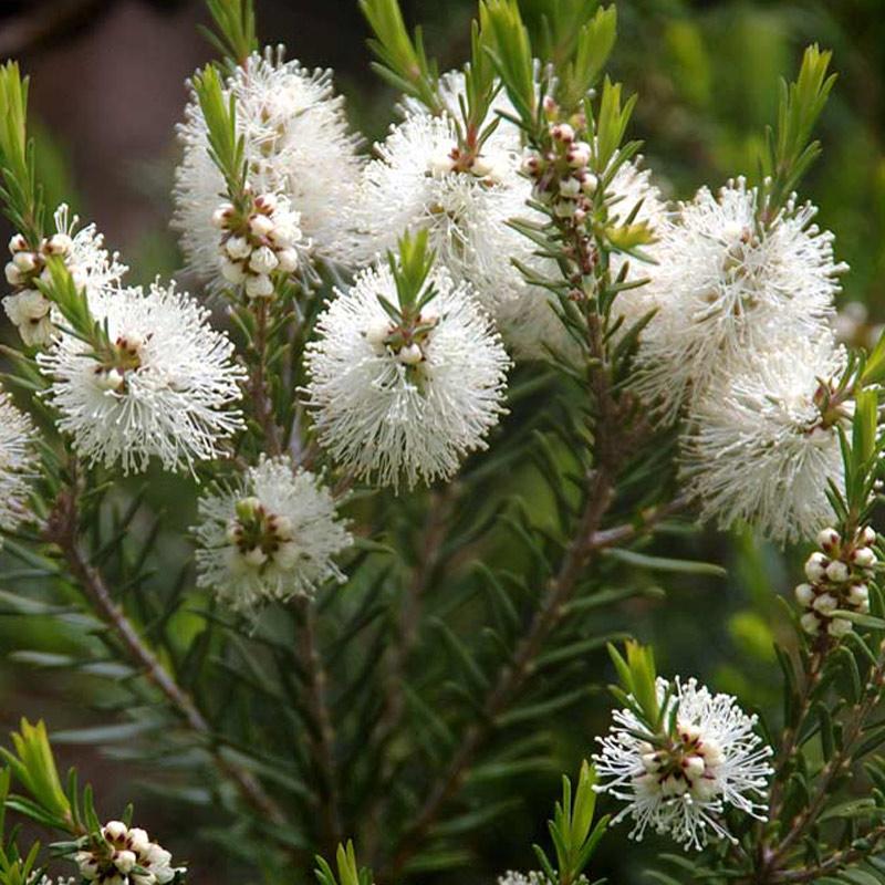 Ova slika ima prazan alt atribut ; naziv datoteke je melaleuca-alternifolia.jpg